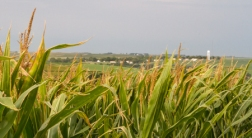 Corn field, Village of Kennard in background