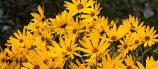 sunflowers-1
