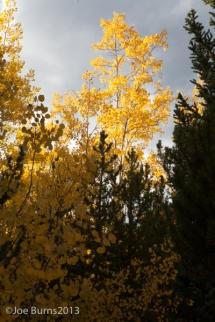 Yellow aspen trees along mountain trail