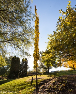 tall thin tree in park