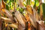 corn cobs on stalk