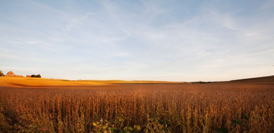 bean field landscapea at sunset