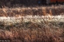 brown grasses covered in ice