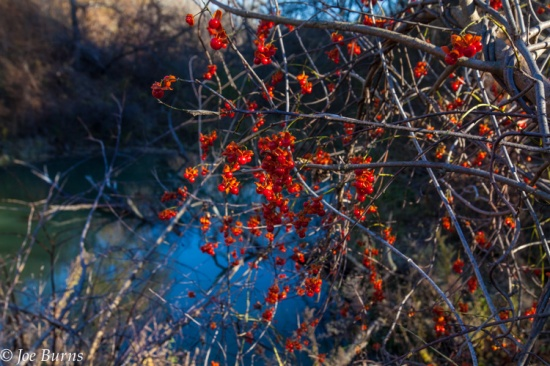 bushes with red berries