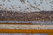 Snow Geese flying