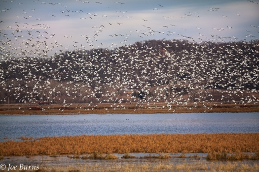 snow geese above pond
