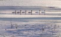 5 swans swimming