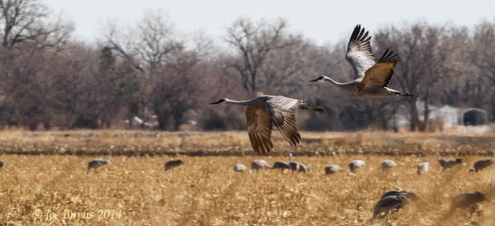 Cranes fly over corn field near the Platte