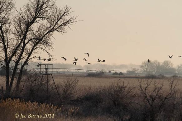 Cranes flying over field