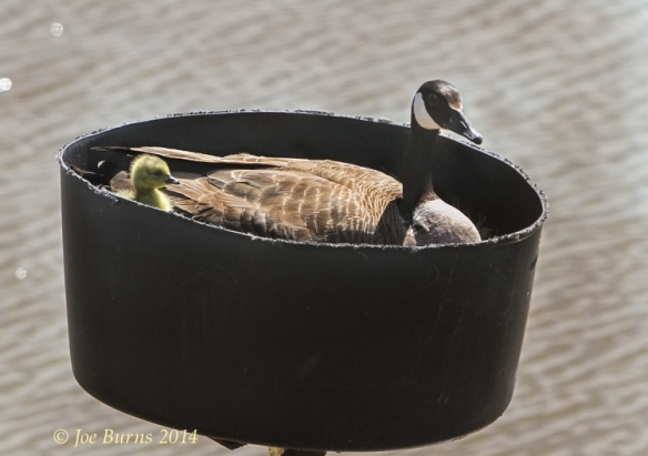 Happy Mothers Day!  The nest fabricated from plastic barrel was one of the independent study projects.