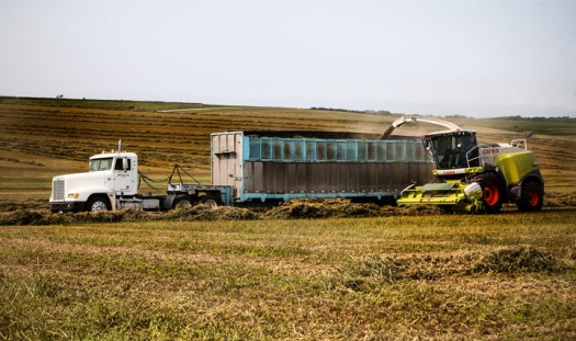 A forage harvester blows chopped alfalfa into an open trailer.