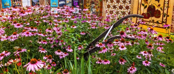 Hand made quilt serves as the backdrop for this garden display featuring  an old farm implement and purple cone flowers.