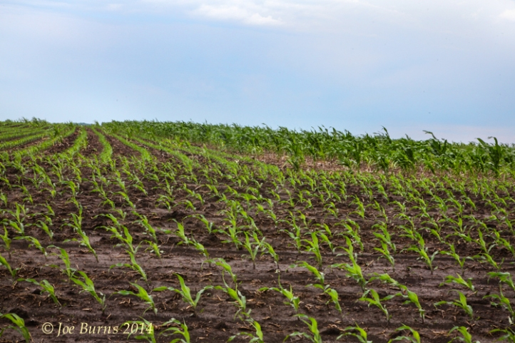 Reseeded corn field