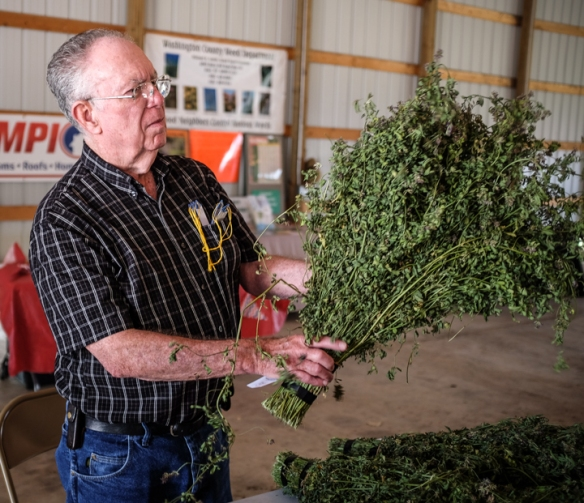 Horticulture judge Don Baker judges alfalfa – first cutting