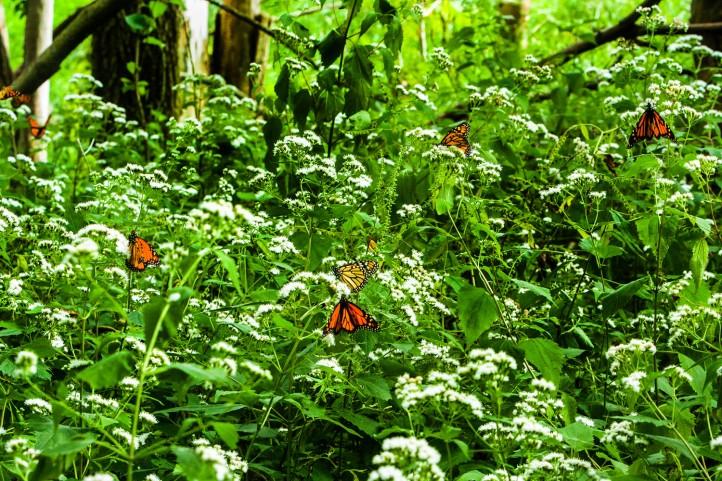 Migrating Monarch butterflies.