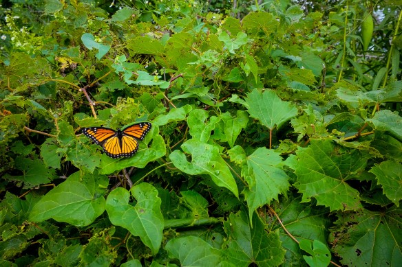 Monarch butterfly  along the Green Heron trail.