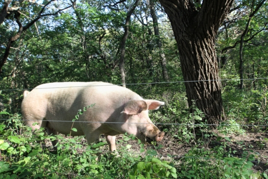 A pig on Ben and Michelle Godfrey's farm roots around in a wooded pasture near Fort Calhou.