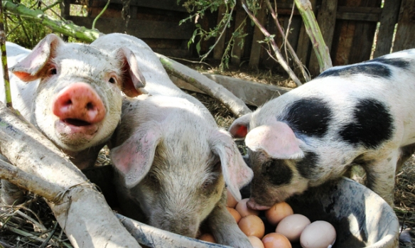 Three of the seven pigs in the Godfrey's fist litter of piglets eat a dinner of hard-boiled eggs.