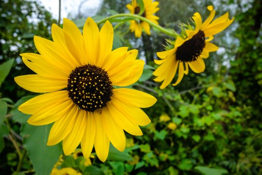 Sunflowers in full bloom along the Green Heron trail.
