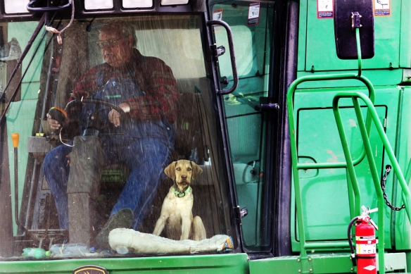 Jeff Quist and  Chesapeake Bay   retriever pup  Mickey  harvest  corn along Dixon Road north of the Blair bridge Monday. While the cold weather will slow down the harvest, Quist expects to be done before Thanksgiving Day.