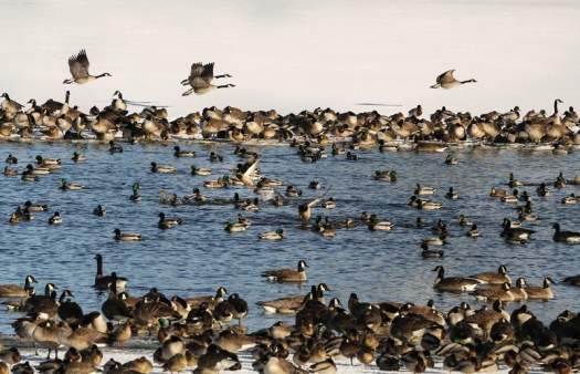 Geese flock to open water on DeSoto lake during a February thaw.
