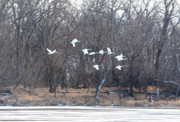 Swans flying over Lake DeSoto.