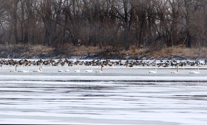 Even though the 12 days of Christmas are over, there were swans a swimming in DeSoto Lake on the opening day of the ice fishing season.