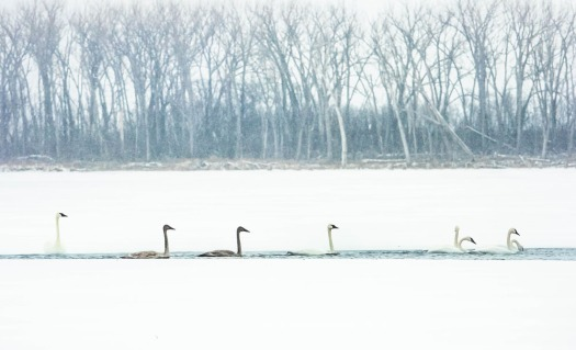 Swans swimming  back and forth keep a patch of water open on Lake DeSoto Monday.