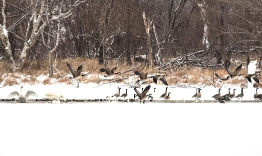 Swans, geese and ducks keep a patch of water free  of ice on lake DeSoto.