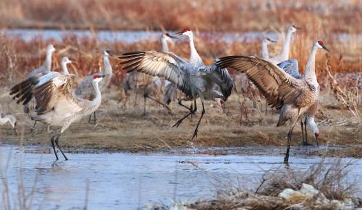 Dancing Sandhill crane on the Platte at rowe Sanctuary
