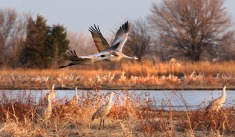 Cranes flying over sandbar at Row Sanctuary on the Platte.