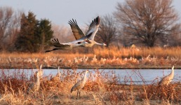 Cranes flying over sandbar at Row Sanctuary on the Platte.