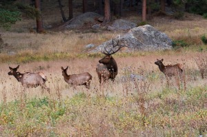 Bull elk keeps track of his harem in Moraine Park near our campsite.