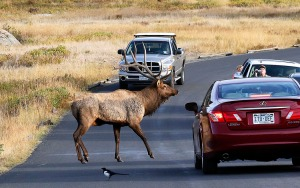 Bull elk stops traffic to confront competitor.