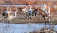 Dancing Cranes at Iain Nicolson Audubon Center eat Rowe Sanctuary, Gibbon NE