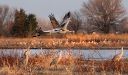 Sandhillk Cranes Rowe Wildlife Sanctuary, Gibbon NE