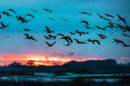 Sandhillk Cranes flying over the Platte river at dusk at Rowe Sanctuary, Gibbon NE