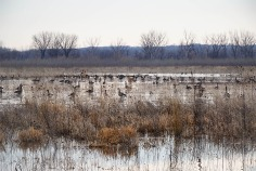 Geese feeding in water covered fields near DeSoto entrance fee station