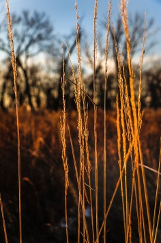 Prairie grasses along walking trail.