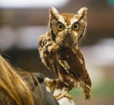 Cedar, an eastern screech Owl is non releasable due to a damaged wing.