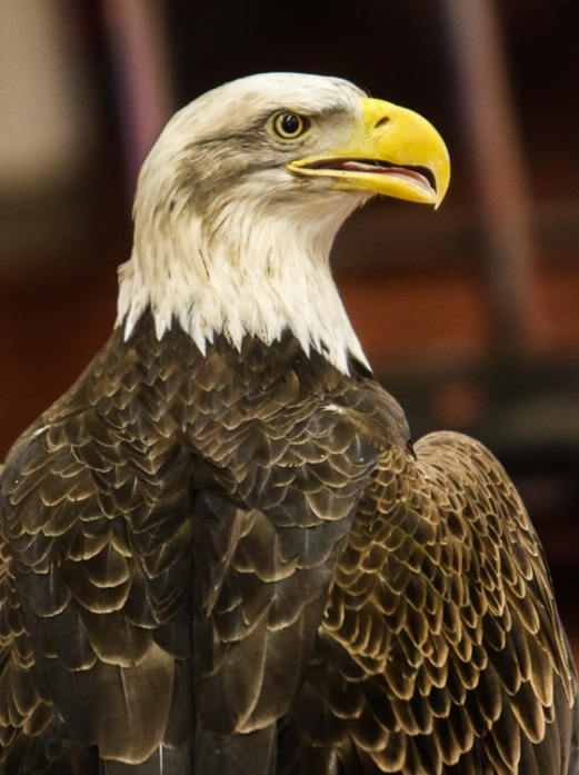 Bald eagle Thora watches from perch.