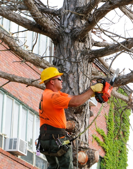 CJ tree service owner Jesse Burt cuts down a dead pine tree next to the Pioneer center at Dana College cleanup