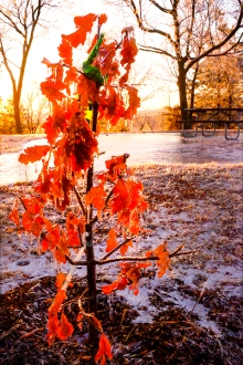 Sapling tree leaves covered in ice at Black Elk-Neihardt Park.