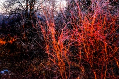 Ice covered bushes at Black Elk-Neihardt park bated in light from setting sun.