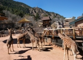 Giraffe herd at Cheyenne Canyon Zoo, Colorado Springs, CO.
