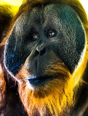 Orangutan at Cheyenne Canyon Zoo, Colorado Springs, CO.
