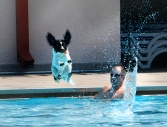 Springer Spaniel Clyde springs into the pool during the doggie splash.