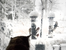 Cat at picture window watches house finches at bird feeders.
