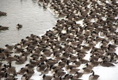 Geese sit on the ice at DeSoto with heads turned away from the wind.